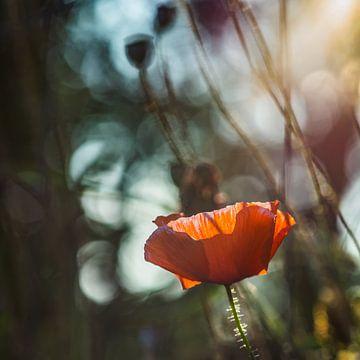 Mohn im Sonnenlicht von Connie Posthuma