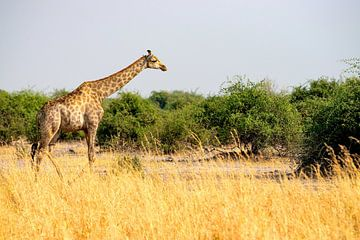 Giraf in het uitgestrekte Chobe National Park van Merijn Loch