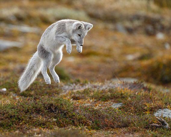 Poolvos in het herfstlandschap van Noorwegen