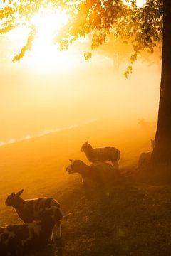 Sonnenaufgang hinter einem Feld mit Schafen von koennemans