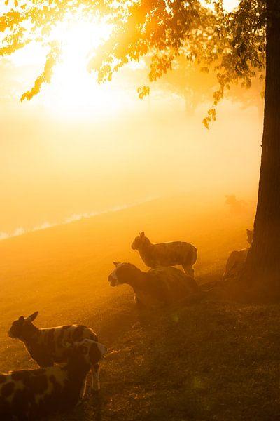 Lever de soleil derrière un champ avec des moutons sur koennemans