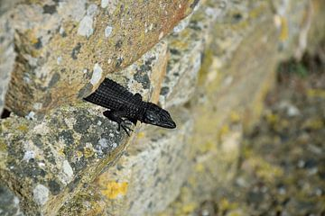 Schwarze Eidechse Südafrika von Merijn Loch
