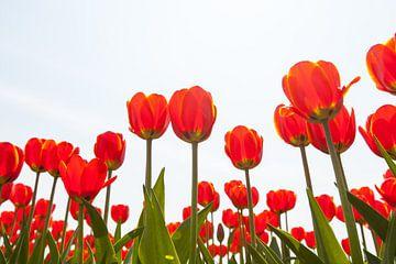 Rood bloeiende tulpen tegen lichte achtergrond von Henk van den Brink