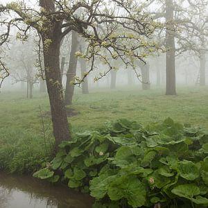Een mistige lenteochtend in een hoogstam boomgaard van