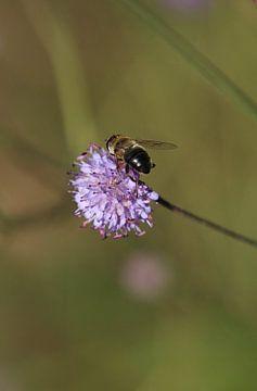 Hummel auf violetter Blume von Eline Lohman