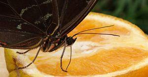 Voedende vlinder op sinaasappel