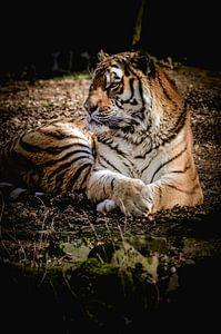 Prachtige tijger van Claire Groeneveld