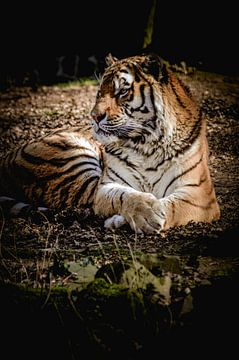 Schöner Tiger von Claire Groeneveld