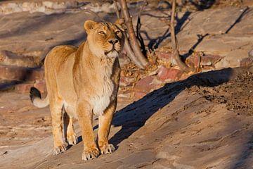 ziet er aandachtig uit. Een krachtig leeuwenmeisje met een sterk lichaam loopt prachtig in het avond van Michael Semenov