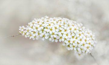 Weiße Fackelblume des Schmetterlingsstrauchs, Buddleja von Rietje Bulthuis