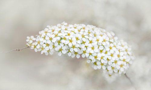 Witte toortsbloem van de vlinderstruik, Buddleja