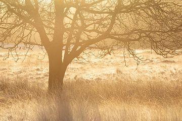 Vrijstaande boom in warm tegenlicht