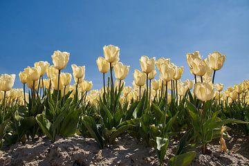 Witgele tulpen van Ad Jekel