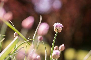 Blühender Schnittlauch im Bauerngarten von Berthold Ambros