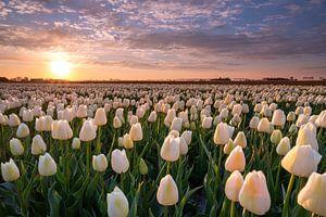 Sonnenaufgang über den Tulpen in Goeree Overflakkee von Annemieke Klijn