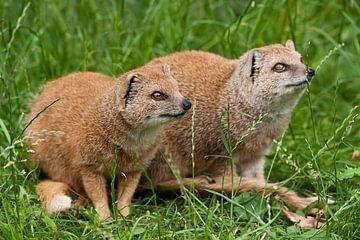 Kosmongos : Tierpark Blijdorp von Loek Lobel