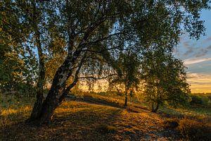 Sunrise Birches