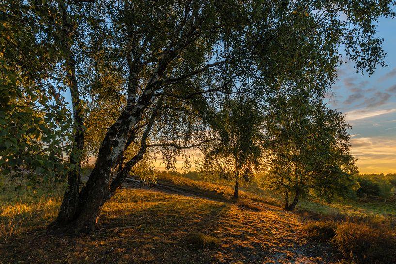 Sunrise Birches sur William Mevissen