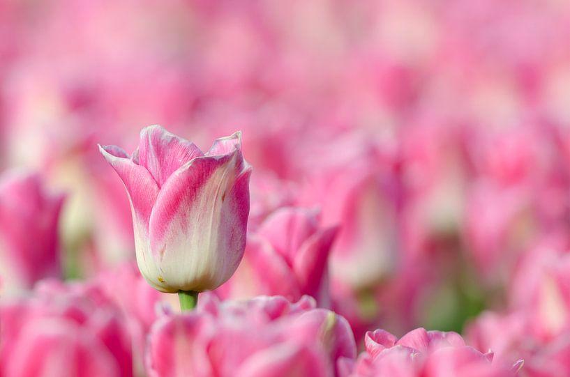 Tulp van René Vos