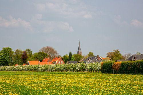 Boomgaard in bloesem en dorp in de Betuwe