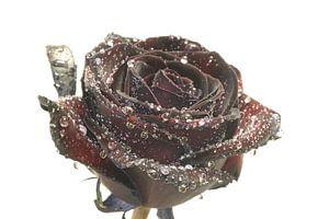 Roos met water druppels van