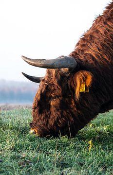 Schotse hooglander von Michael van der Tas