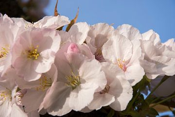 Bloesem. Blossom. van Helma de With