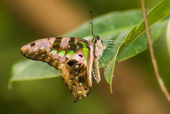 Kleurrijke Page Vlinder van Samantha Schoenmakers