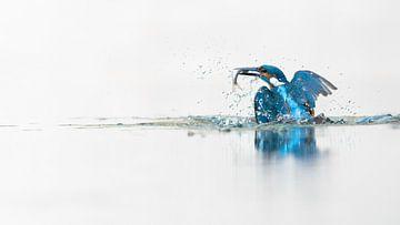 Kingfisher in highkey van Alex Pansier