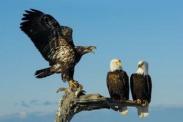 Drie Amerikaanse zeearenden (juvenile en volwassen) van