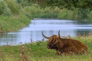 Schotse hooglander van Pieter van Roijen