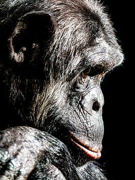 Chimpansee van Scholtes Fotografie
