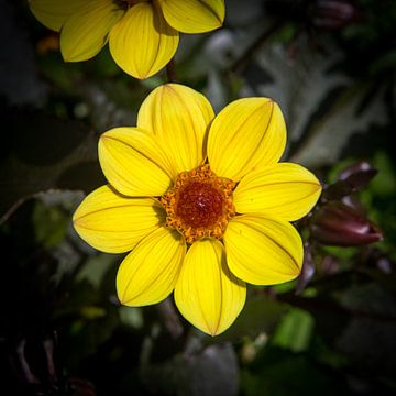 Gebete Laevis-Blume von Yannick uit den Boogaard