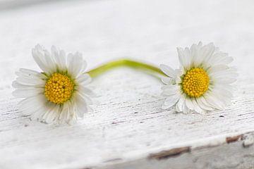 Doppeltes Gänseblümchen auf Gartentisch mit Patina als Zeichen für Verliebte von Christian Feldhaar
