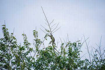Groene hagedis ligt hoog in een boom te rusten in de zon. van Twan Bankers