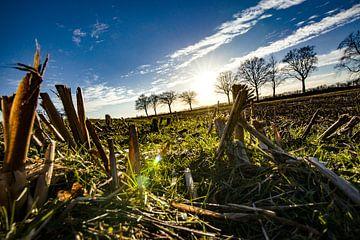 Tegenlicht foto van stoppels in een maisveld met zon flare van