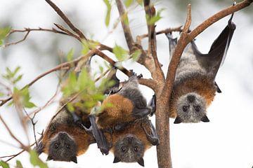 Vleermuizen drie op een rij van Willem Vernes