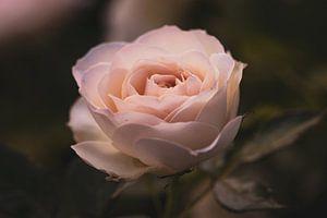 Trotse roos van Lillypix Art