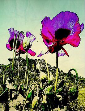 opiumpapaver van Kiki De Kock