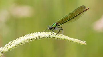 Groene juffer in het gras van Bas Ronteltap