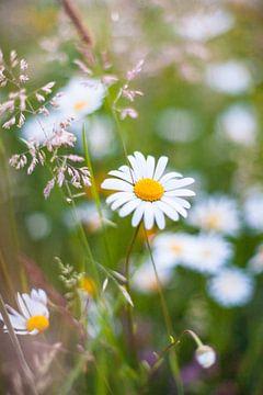 Weiße Feldblumen im hohen Gras von Fotografiecor .nl