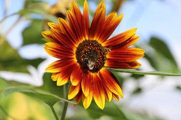 Rote Sonnenblume von Frank Janssen