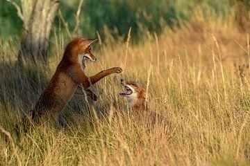 Kampf gegen junge Füchse von Ed Klungers