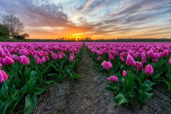 Zonsondergang bij Vogelenzang in de Bollenstreek (Noord-Holland)