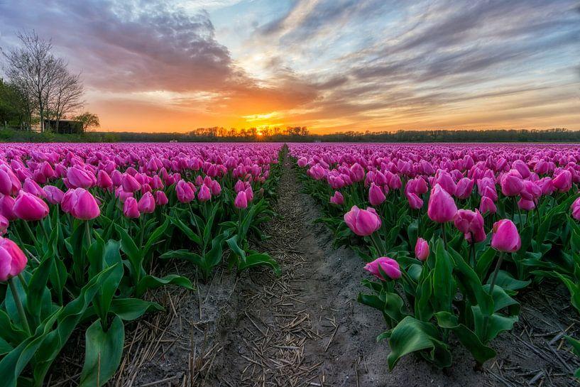 Zonsondergang bij Vogelenzang in de Bollenstreek (Noord-Holland) van Ardi Mulder