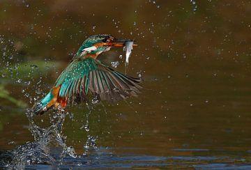 Ijsvogel duikt op met vis (Eisvogel, Kingfisher) van Gejo Wassink
