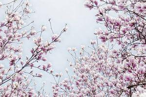 Magnoliabloesem lentebloesem II