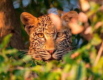 LP 71301232 Een luipaard kijkend door bladeren van BeeldigBeeld Food & Lifestyle