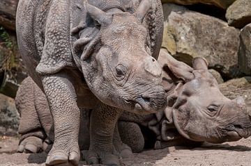 Indisches Nashorn : Blijdorp Zoo von Loek Lobel