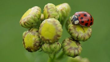 Lieveheersbeestje op een bloemknop